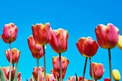 Red tulip flowers against blue sky Product Image 1