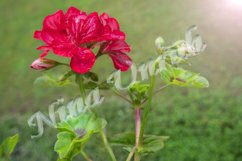 Flower of red Pelargonium graveolens with buds Product Image 1