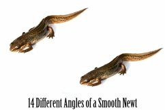 Smooth Newt 14 Photographs in Different Angles JPG Product Image 4