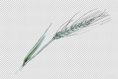 Spike of wheat Watercolor png Product Image 3