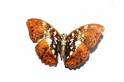 11 Butterfly Collection on White Background Lepidoptera Product Image 4