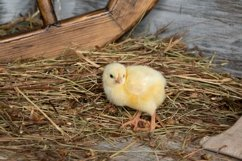 Chick,chickens in the poultry house Product Image 1