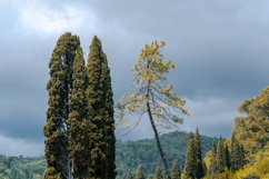 Yellow tree and green thuja. Nature. Landscape. Product Image 1