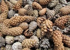 Fir Cone Background Product Image 1