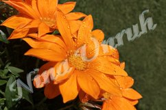 Flowers of orange gazania with dew drops on petals Product Image 1
