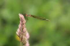 Green dragonfly on straw. Wildlife Product Image 1