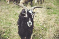 Black goat Product Image 1