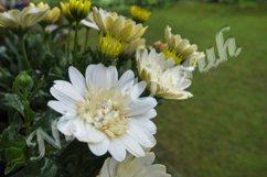 Close up of Aurora, a white chrysanthemum Product Image 1