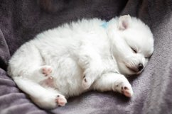 Photos of cute adorable fluffy white Spitz dog puppy Product Image 13