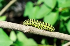 Green caterpillar on lilac leaf Product Image 1