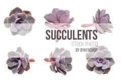 Echeveria Succulents isolated on white background Product Image 1