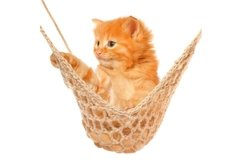 Stock Photo - Cute red haired kitten in hammock Product Image 1
