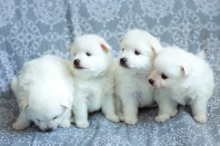 Photos of cute adorable fluffy white Spitz dog puppy Product Image 4