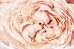 Petals of peony roses flower, pink color, natural background Product Image 1