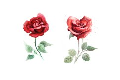 5 watercolor roses Product Image 4