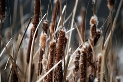 Cattails Photograph - JPEG & PNG File Product Image 1