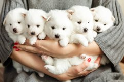 Photos of cute adorable fluffy white Spitz dog puppy Product Image 14