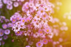 pink autumn flowers Aster novi-belgii in full bloom. flare Product Image 1