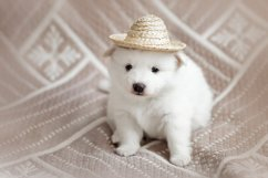 Photos of cute adorable fluffy white Spitz dog puppy Product Image 6