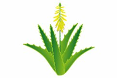 Aloe vera plant with flowers and roots. Product Image 3