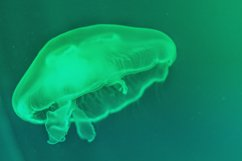 Sea floating jellyfish backlit by neon green light Product Image 1