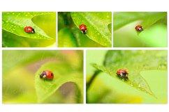 Ladybug. Styled stock photo set. Product Image 3