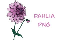 Dahlia PNG Product Image 1