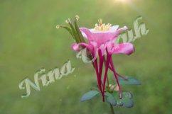 Flower of pink Aquilegia vulgaris/formosa of Ranunculaceae Product Image 1