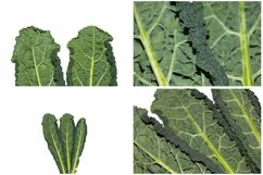 Kale Cabbage Vegetable Photograph Collection Product Image 5