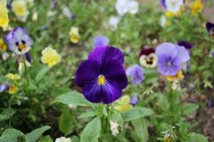 flowers pansies in the garden Product Image 1