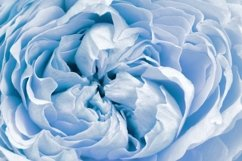 Flowers of peony roses, blue color, natural background Product Image 1