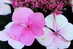 BEAUTIFUL HYDRANGEA FLOWERS Product Image 1