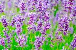 Selective focus on lavender flower in flower garden. Product Image 1