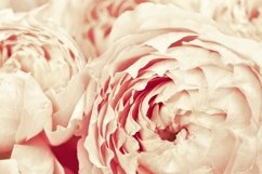 Flowers of peony roses, pink color, natural background Product Image 1