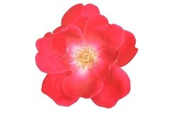 Stock Photo - Flower of the rose on white background. Product Image 1