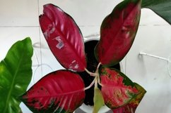 agronema plant with red leaves Product Image 1