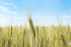 Wheat field in the village Product Image 1