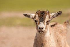 Goat photo 2 Product Image 1