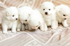 Photos of cute adorable fluffy white Spitz dog puppy Product Image 3