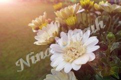 Flower bush of Aurora, white chrysanthemum Product Image 1