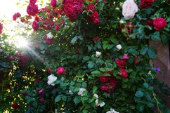 bush of beautiful pink, red and white roses with ray of sun Product Image 1