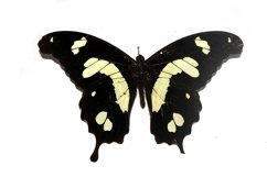 11 Butterfly Collection on White Background Lepidoptera Product Image 5
