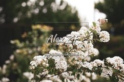 White flowers on spring trees Product Image 1