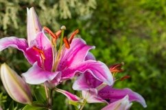 Pink lilly in the garden Product Image 1