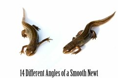 Smooth Newt 14 Photographs in Different Angles JPG Product Image 6