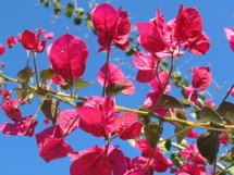 Pink Flowers with Blue Sky Product Image 1