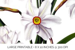Daffodil Clipart White Flowers Vintage Product Image 3