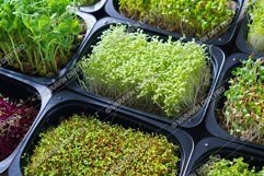Set of microgreen sprouts in a trays Product Image 1