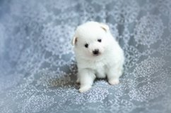 Photos of cute adorable fluffy white Spitz dog puppy Product Image 2