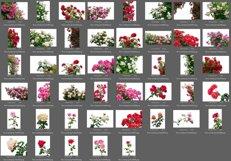45 Rose Photo Overlays Product Image 3